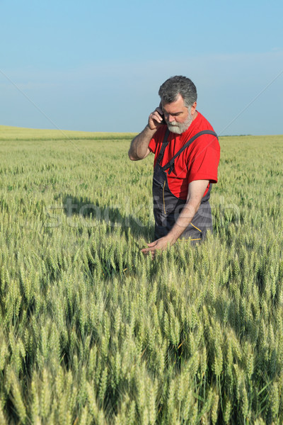 Farmer inspect wheat field Stock photo © simazoran