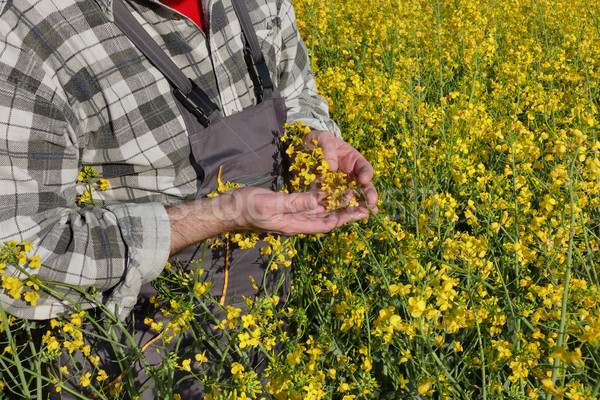 Stock photo: Farmer in blossoming canola, oil seed field