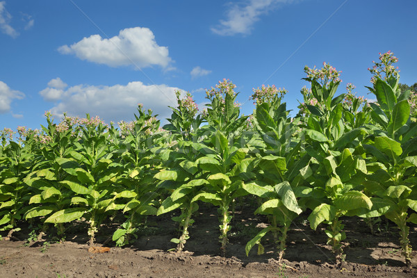 Tobacco plants in field Stock photo © simazoran