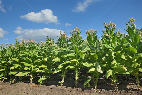 Dohány növények mező virágzó zöld kék ég Stock fotó © simazoran