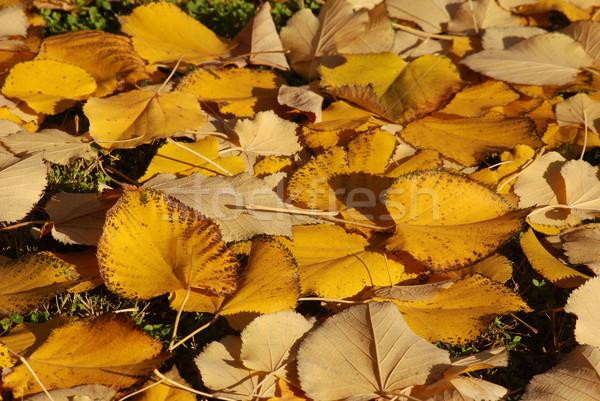 秋 カラフル ツリー 森林 自然 背景 ストックフォト © simazoran