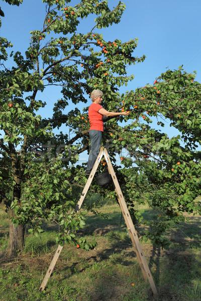 Photo stock: Agriculteur · échelle · abricot · fruits · Homme