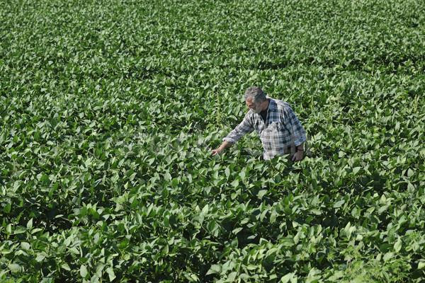 Farmer examining green soybean plants in field Stock photo © simazoran