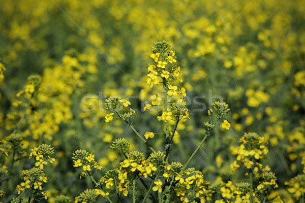 Blossoming rapeseed plant in field Stock photo © simazoran