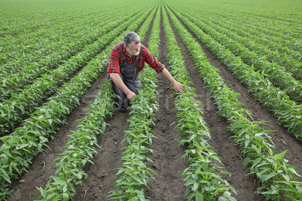 Farmer examining soybean crop in field Stock photo © simazoran