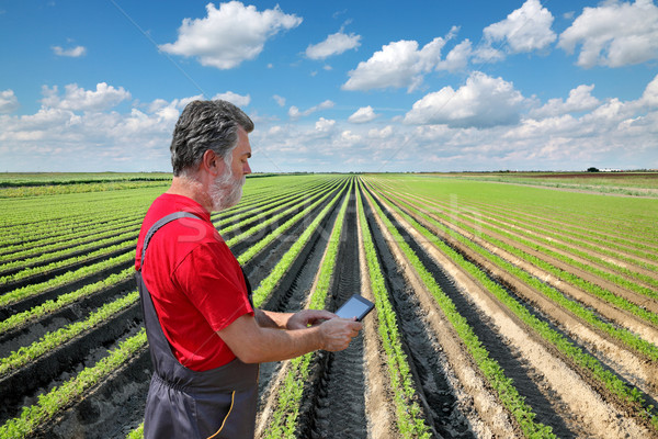 Farmer inspect carrot field Stock photo © simazoran