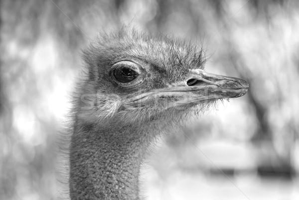 ダチョウ 肖像 黒白 自然 頭 ストックフォト © simazoran