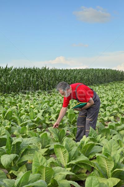 Agricoltore tabacco campo impianto presto estate Foto d'archivio © simazoran