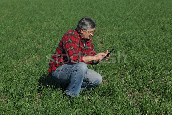 Agriculture, farmer examine wheat plant in field Stock photo © simazoran
