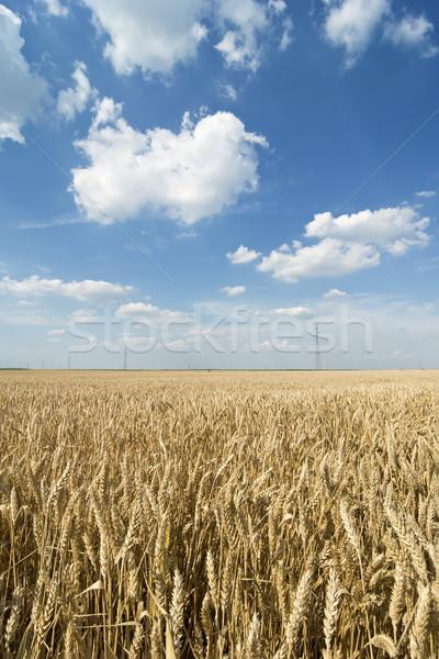麦畑 遅い 春 早い 夏 青空 ストックフォト © simazoran