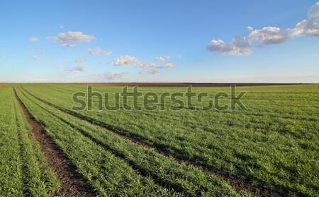 Mezőgazdaság búzamező tavasz zöld korai gyönyörű Stock fotó © simazoran