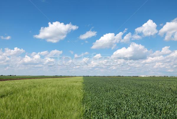Wiejskie sceny pole pszenicy wiosną piękna niebo chmury Zdjęcia stock © simazoran