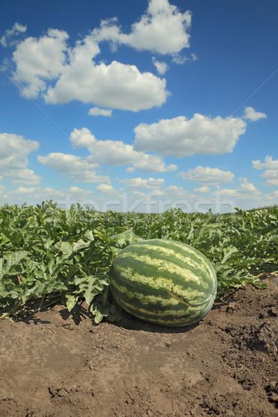 Watermelon fruit in field Stock photo © simazoran