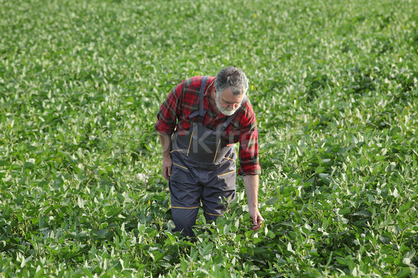 Agriculteur soja bean domaine Photo stock © simazoran