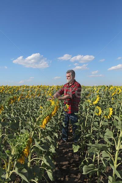 農家 ヒマワリ フィールド 調べる 工場 花 ストックフォト © simazoran