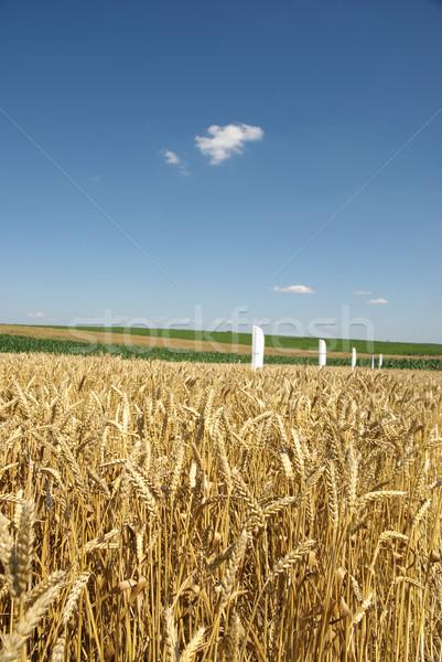 Campo de trigo experimental pronto colheita cedo verão Foto stock © simazoran