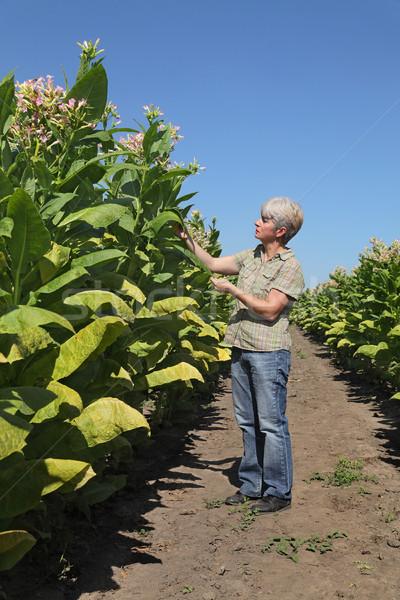 Vrouwelijke landbouwer tabak veld plant Stockfoto © simazoran