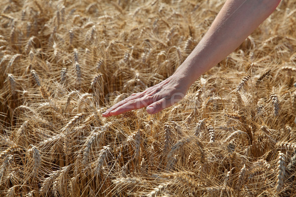 Agriculture, wheat and hand Stock photo © simazoran