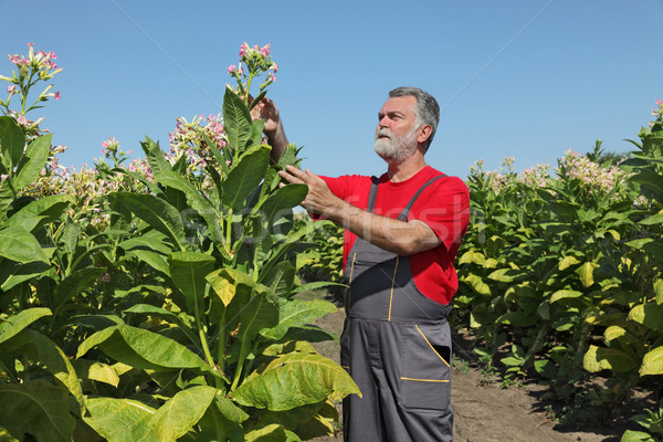фермер табак области завода цветы Сток-фото © simazoran
