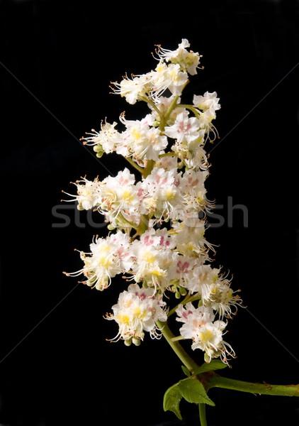 Chestnut flowers Stock photo © simazoran