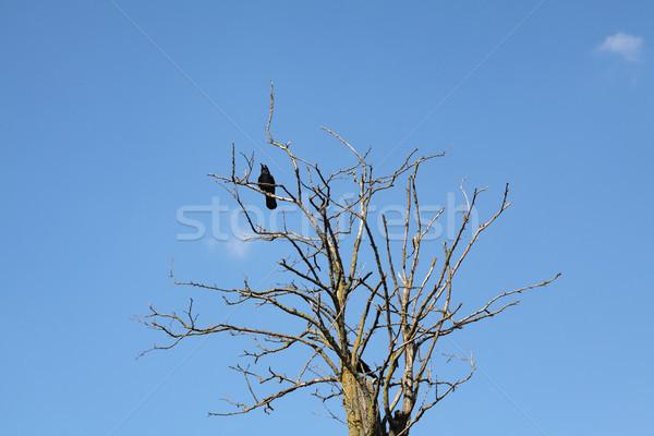 Karga ağaç mavi gökyüzü bir siyah eski Stok fotoğraf © simazoran