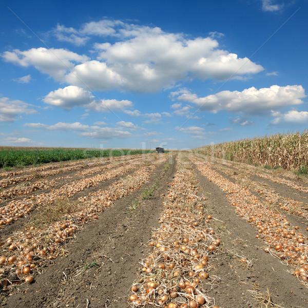 Agricola scena cipolla campo raccolto agricoltura Foto d'archivio © simazoran