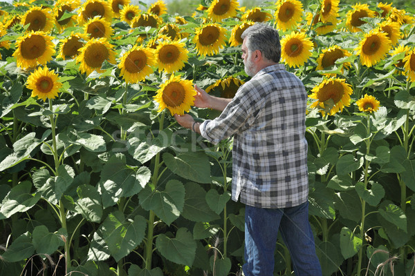 Farmer in sunflower field Stock photo © simazoran