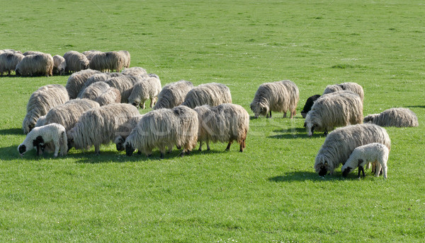 Sheep at green meadow Stock photo © simazoran