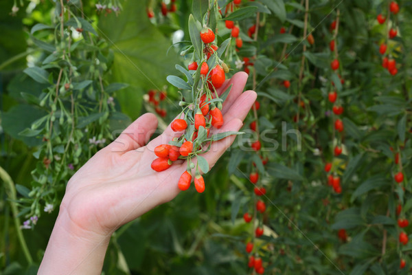 Agriculture, goji berry fruit Stock photo © simazoran