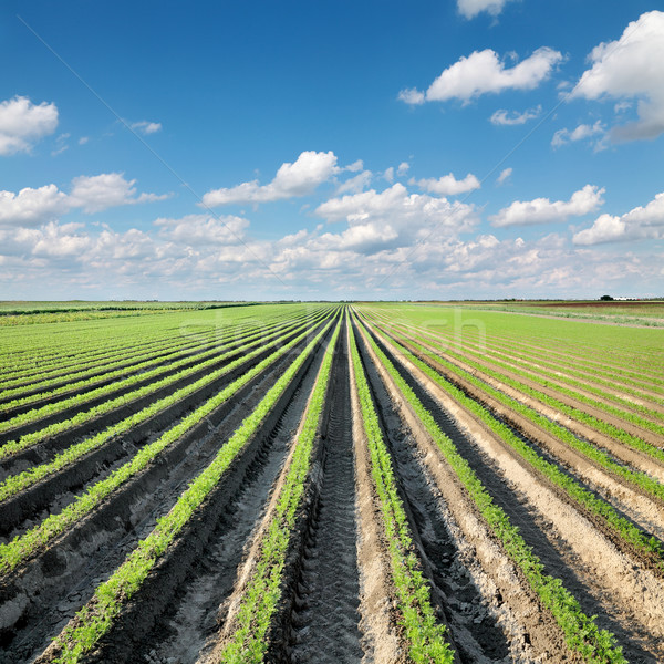 Agriculture, carrot field in summer Stock photo © simazoran