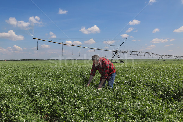 Farmer in pea field with watering system Stock photo © simazoran