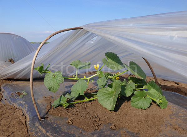 Dinnye ültet mező növény kicsi műanyag Stock fotó © simazoran