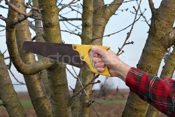Agriculture, pruning in orchard Stock photo © simazoran