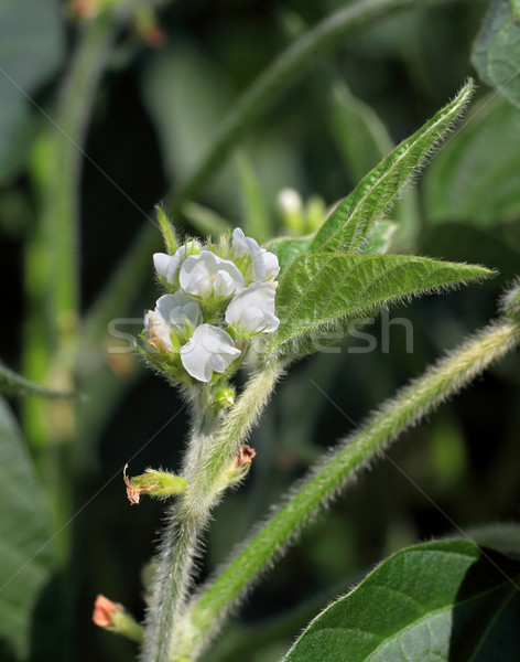 Agriculture, soybean blooming Stock photo © simazoran