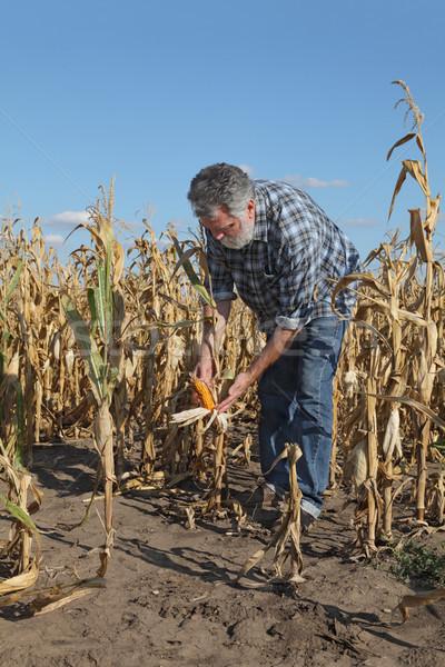 Agricultural scene, farmer or agronomist inspect damaged corn fi Stock photo © simazoran