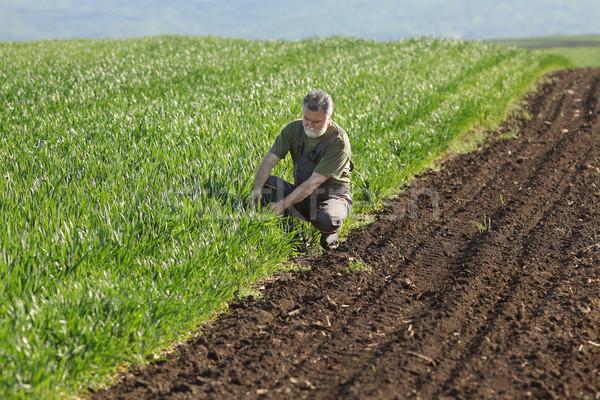 Agriculture, farmer examining wheat field Stock photo © simazoran