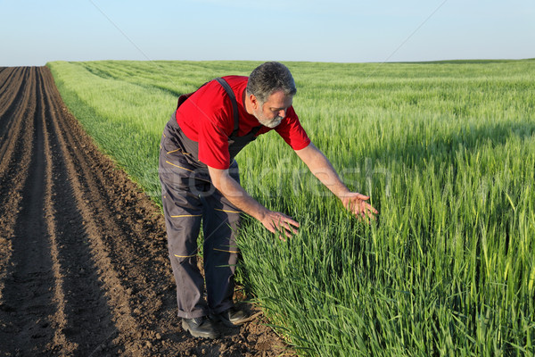 Agriculture, farmer examine wheat field Stock photo © simazoran