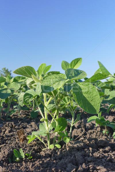 Mezőgazdaság szójabab növény mező zöld megművelt Stock fotó © simazoran