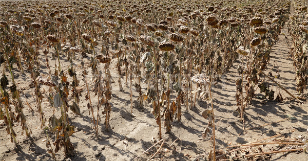 Klímaváltozás természetes szerencsétlenség aszály napraforgók mező Stock fotó © simazoran