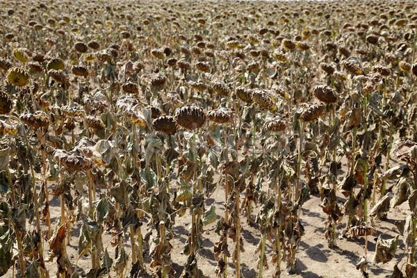 Klimaatverandering natuurlijke ramp droogte zonnebloemen veld Stockfoto © simazoran