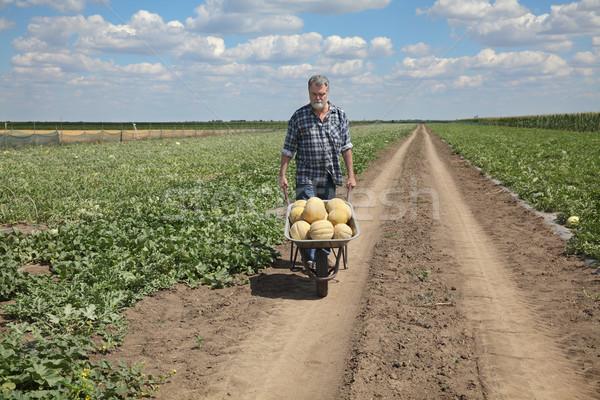 ストックフォト: 農家 · メロン · フィールド · 輸送 · 手押し車