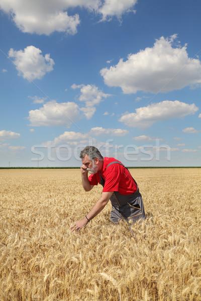ストックフォト: 農家 · 調べる · 麦畑 · 携帯電話 · 品質 · 小麦