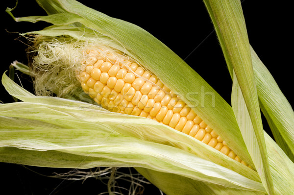 Corn Stock photo © simazoran