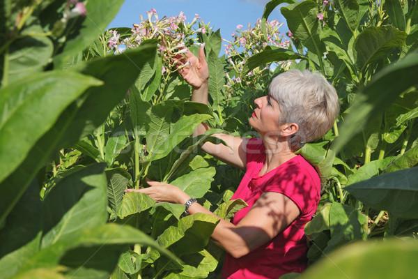 Agriculteur tabac domaine Homme floraison usine Photo stock © simazoran
