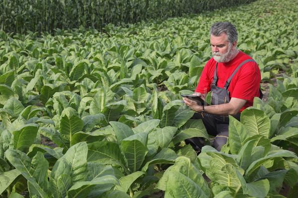 Landbouwer tabak veld plant groene industrie Stockfoto © simazoran