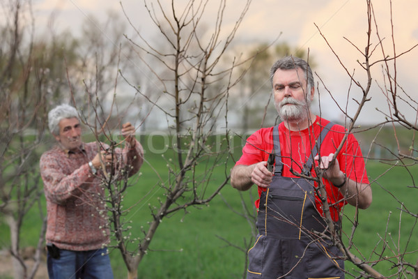 Workers pruning tree in orchard, agriculture Stock photo © simazoran