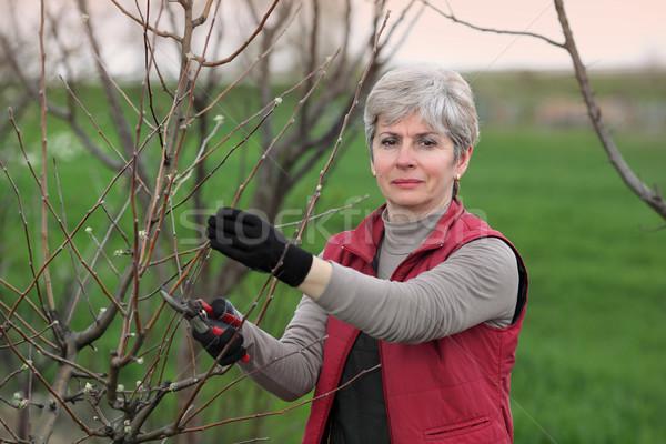 Women pruning apple tree in orchard Stock photo © simazoran