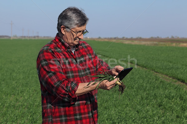 Agriculture, farmer examining wheat plant in field Stock photo © simazoran