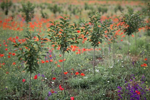 Nieuwe kers boomgaard laat voorjaar onlangs Stockfoto © simazoran