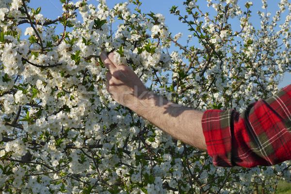 Farmer or agronomist touching blossoming cherry branch Stock photo © simazoran